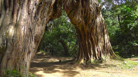 The tree arch on the slope of mount Meru Footage