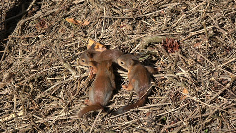 Three young beautiful red squirrels in park on ground Footage