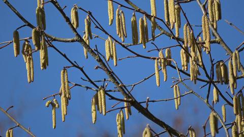 spring hazel catkins on blue sky background Footage