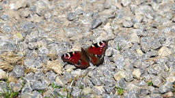 Butterfly on stony ground Footage