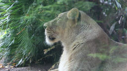 Peoples reflection as they passing lioness in the zoo Footage