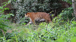 Siberian tiger in the bush Stock Video Footage