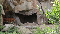 Siberian tiger show up from his cave Stock Video Footage