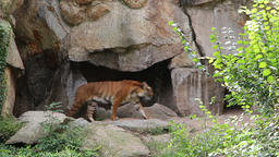 Siberian tiger show up from his cave Footage