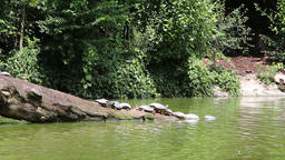 Turtles on a tree branch in a water stream Footage
