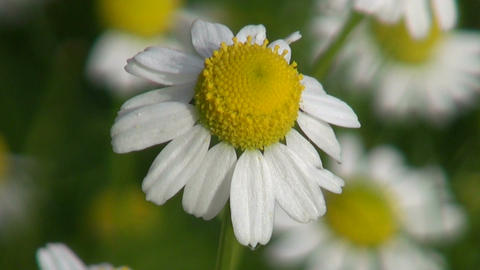 Chamomile medical blossom flowering in herbs garden Footage
