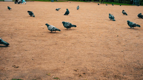 Сrowd of pigeons Footage