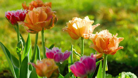 Terry tulips after rain Footage