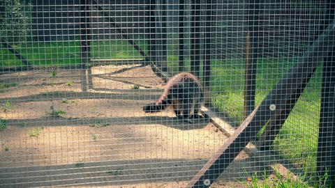 worried raccoon animal walk in zoo garden cage Footage