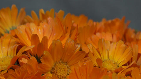 marigold calendula officinalis herb flower blooms. counterclockwise turntable Footage