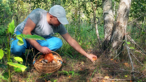 Male mushroom picker picking mushrooms and putting them to full basket Footage