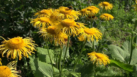 Bumblebee picking pollen from Horse-heal Elecampane flowers Footage