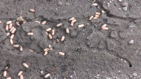 black garden ants moving their eggs underground Footage