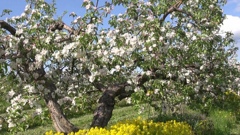Apple tree blossoming in spring Footage