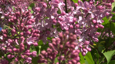 Lilacs blossoming on sunny day Footage