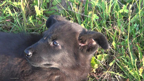 Little black dog puppy lying in grass Footage