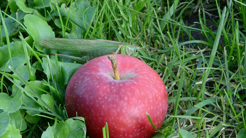 Green grasshopper crawling on ripe red apple Footage