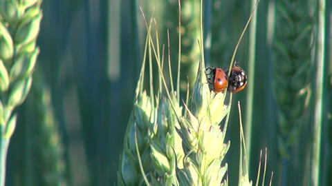Three ladybugs on wheat Footage