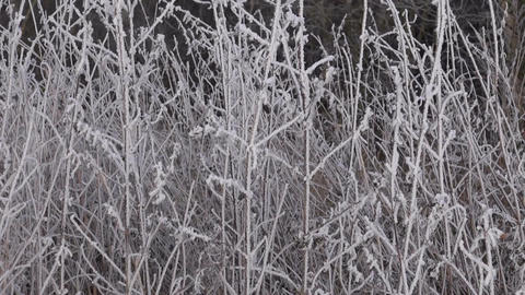 Snow covered plant stems Footage