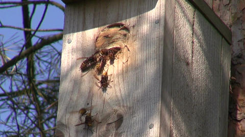Close up of wasp nest in bird nesting box Footage