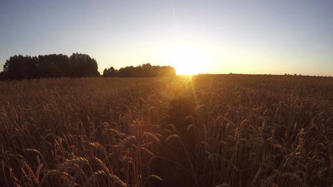 Beautiful morning sunrise in ripe wheat field. Summer end landscape, time lapse  Filmmaterial