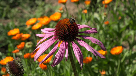 Bee picking pollen from echinacea flower Footage