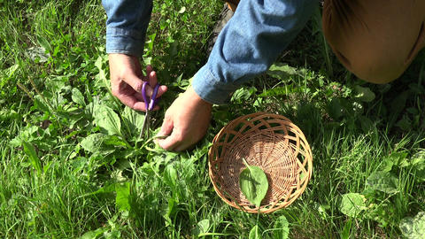 herbalist collecting Broadleaf plantain leaves in the field, 4K Live Action