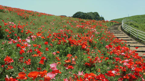 Red poppy field and a path Footage