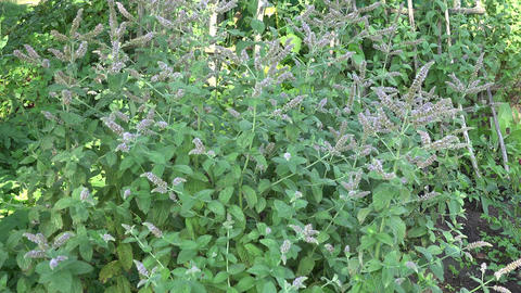 Gardener picking horse mint in herb garden Footage