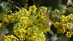 Yellow flowers mahonia