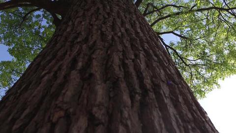 large tree Footage
