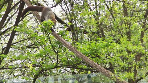 The coati, nasua nasua, descends the rope Footage