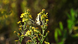 Swallowtail butterfly (Papilio machaon) on flower Footage