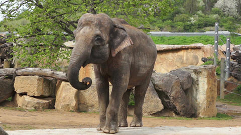 The female Indian elephant standing and looking Footage