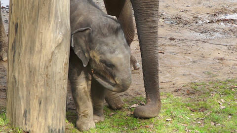 The little elephant baby goes around the tree Footage
