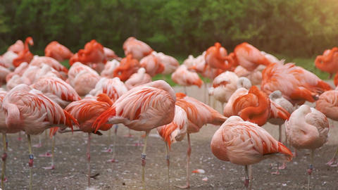 Group of pink flamingos bask in the sun Footage