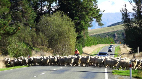 Sheep across the road Footage
