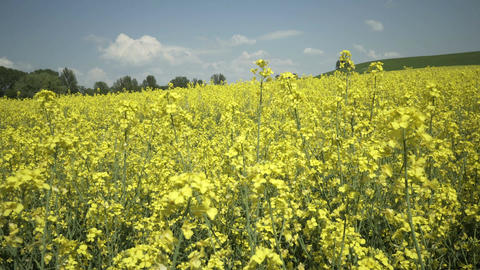 Industrial Farming Field Rapeseed Static Shot Footage