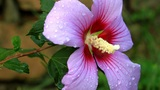 Hibiscus Flower Garden stock footage