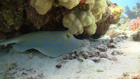 Blue Spotted Stingray on the Coral Reef, Red sea Stock Video Footage