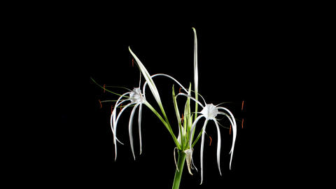Time-lapse Opening white amaryllis (Amaryllis.... Stock Video Footage