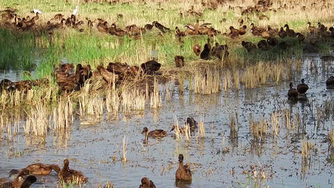 Domestic ducks in paddy field Footage