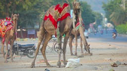Camel riding in the streets of Jaipur Footage