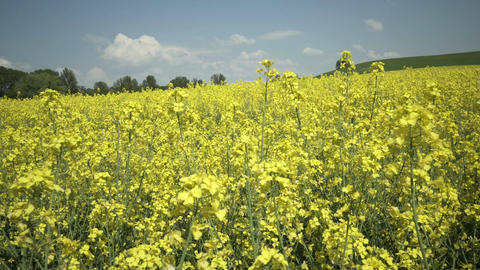 Industrial Farming Rapeseed Field Pan