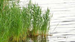 Fresh green reeds swinging and waving in the wind. Lake bank with small depth, r Footage