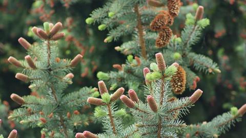 Pine Cones on a Pine Branch Footage