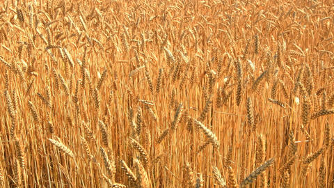 Golden ripe ears of wheat in a field caressed by the wind during a summer's da Footage