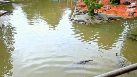 Crocodiles Swim in Pond Rest on Stone Island on Farm in Park Footage