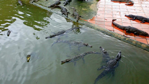 Crocodiles Swim in Pond on Breeding Farm in Vietnam Footage
