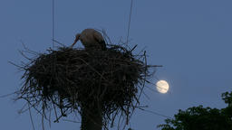 4K Ungraded: White Stork in Nest on Power Line Column Crouching in The Footage